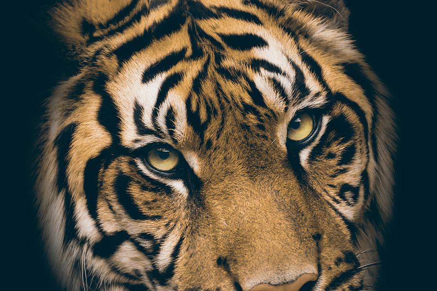 cerca de la cara de tigres