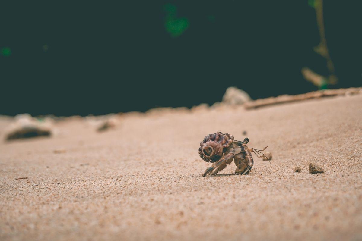 cangrejo en la playa